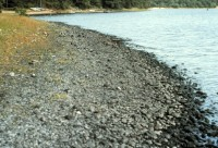 The sediment along the shoreline of Ashumet Pond, Cape Cod, MA, before the installation of the permeable reactive barrier. The black color of the sediment is the result of manganese in the plume precipitating to manganese oxide when ground water with very little dissolved oxygen encounters the oxygen rich pond water