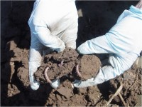 An example of earthworms found during the sifting process. Because earthworms continuously ingest soils, they could possibly serve as a sentinel species that would be indicative of the biological uptake of emerging contaminants.