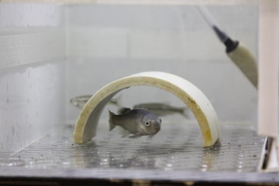 Fathead minnow in a laboratory aquarium