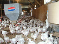 Chickens in a confined animal feeding operation.