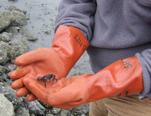 USGS scientist holding the shore crab, Hemigrapsus oregonensis, Bodega Bay, Calif