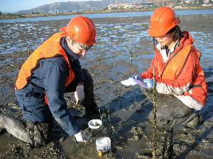 Scientists collecting biological samples from mud flats near Hunters Point, California.