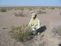 Collecting plant foliage for water extraction by solar distillation, Amargosa Desert Research Site, Nevada